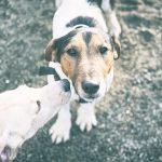 Flopi i Gala 20171227 01 150x150 - Comprar perro Ciudad Real