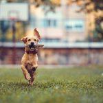 adoptar perro mestizo 150x150 - Adoptar un perro mestizo: 5 Razones que te impresionarán