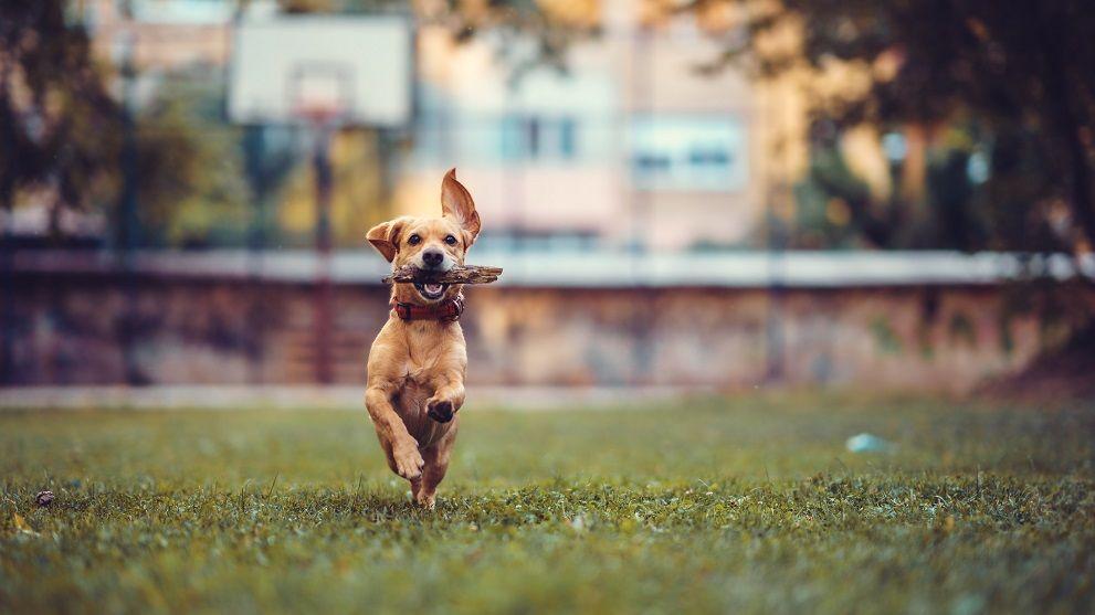 adoptar perro mestizo - Adoptar un perro mestizo: 5 Razones que te impresionarán
