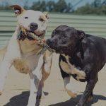 apache 150x150 - Comprar Bull Terrier