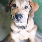 benhur 150x150 - Comprar perro mediano