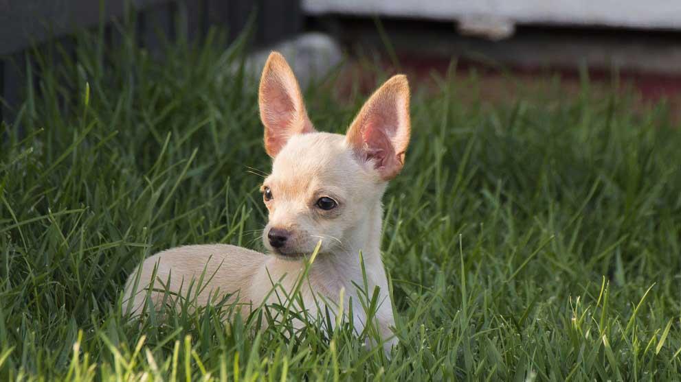chihuahua pelo corto - Razas de perros sin pelo para personas con alergia. ¡Descúbrelas todas!