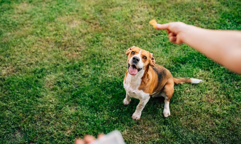 como conseguir perro de pata - Cómo enseñarle a tu perro a dar la pata
