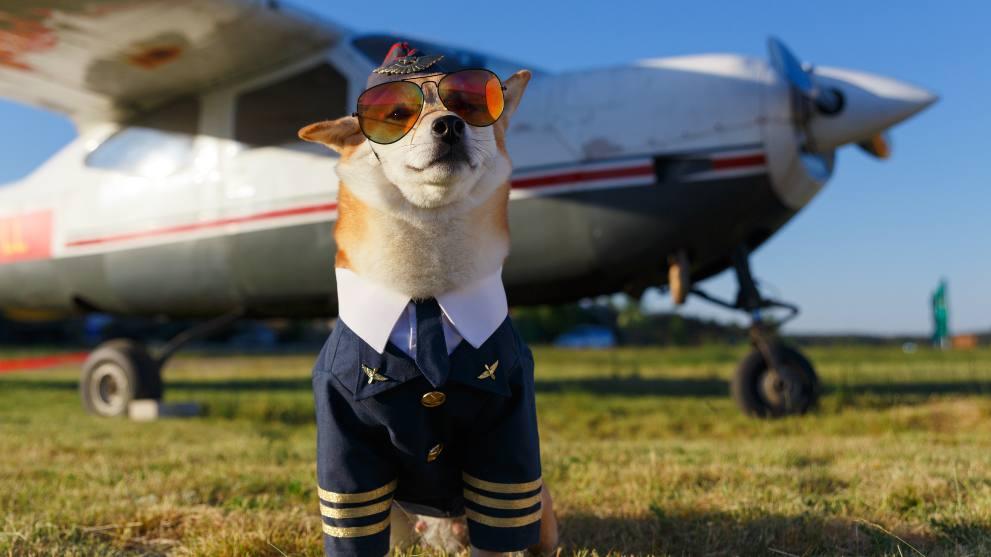 como viajar perro avion - ¿Cuál suele ser el comportamiento de un perro adoptado?