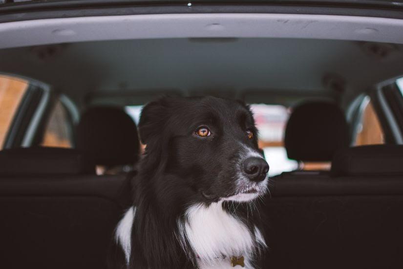 como viajar perro coche - Razas de perros sin pelo para personas con alergia. ¡Descúbrelas todas!