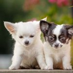 criadero de cachorros 150x150 - Claves para escoger el mejor criadero de perros