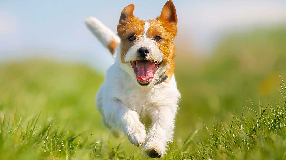 criadero de perros - Cómo conseguir que tu perro no tire de la correa al pasear