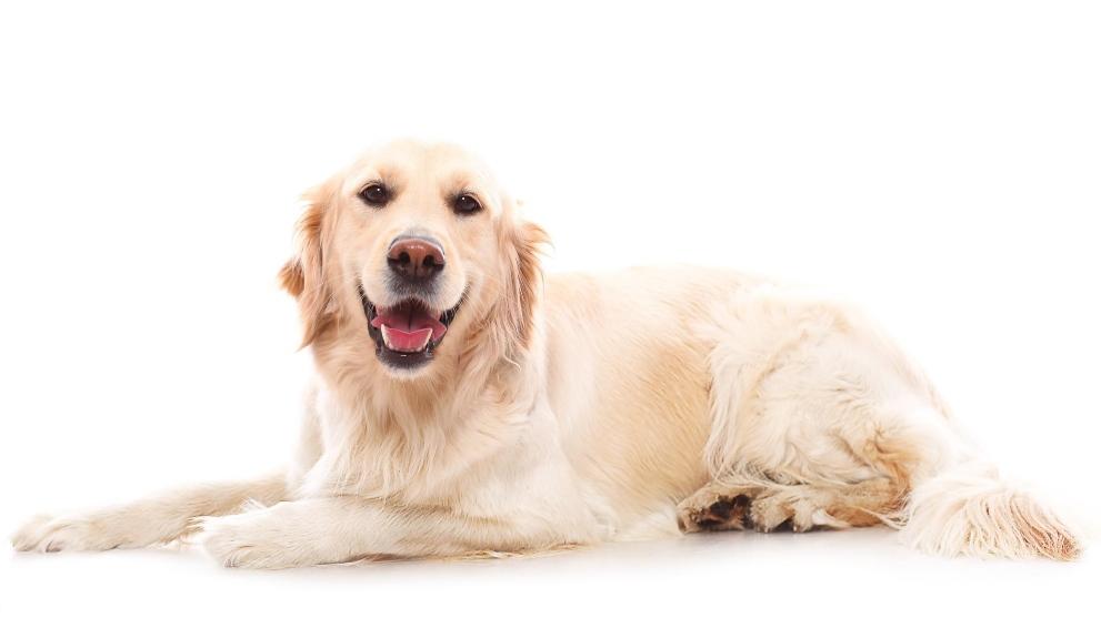 cuanto dura celo perra - ¿Cuánto dura el celo de una perra?