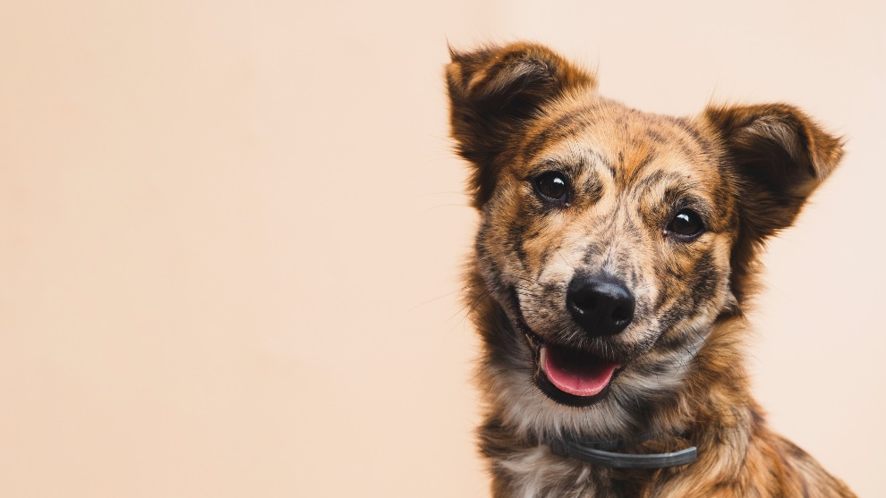 gastos adopcion canina - ¿Cuánto cuesta adoptar a un perro?