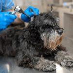 herramientas limpiar orejas perro 150x150 - Cómo limpiarle las orejas a mi perro