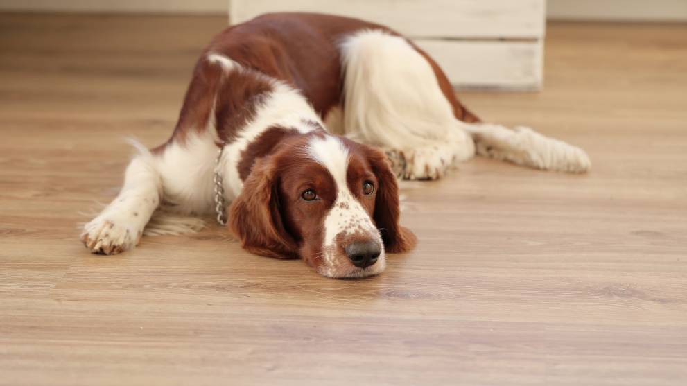 ¿Por qué mi perro mea en casa?