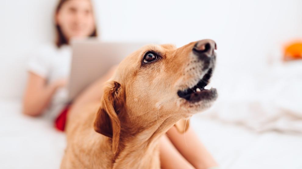motivos ladrido perros - Cómo se comportan los perros con las embarazadas