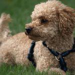 perro caniche inteligente 150x150 - ¿Cuáles son los perros más inteligentes y por qué?