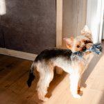 perro jugando casa 150x150 - Teletrabajo: la oportunidad para disfrutar con tu perro en casa