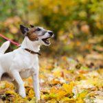 perro tirando correa 150x150 - Cómo conseguir que tu perro no tire de la correa al pasear