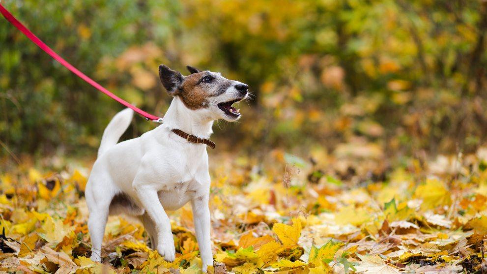 perro tirando correa - Cómo conseguir que tu perro no tire de la correa al pasear