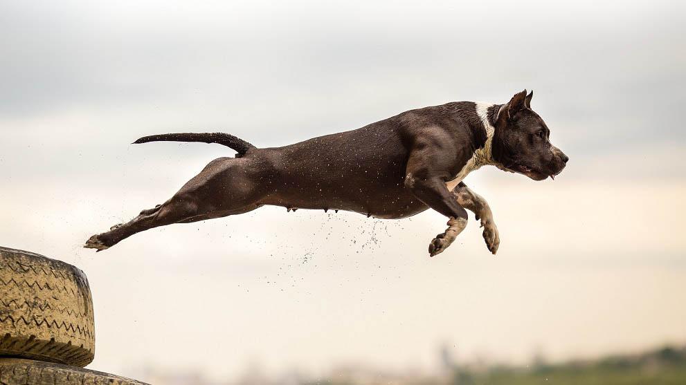perros potencialmente peligrosos - 11 razones que demuestran que adoptar un perro es mejor que comprarlo
