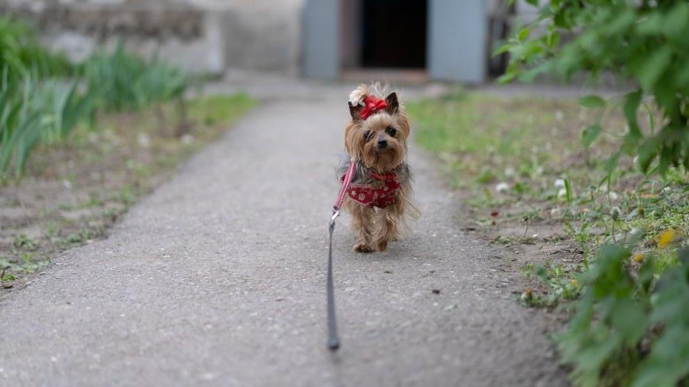 sintomas celo perra - ¿Cuánto dura el celo de una perra?