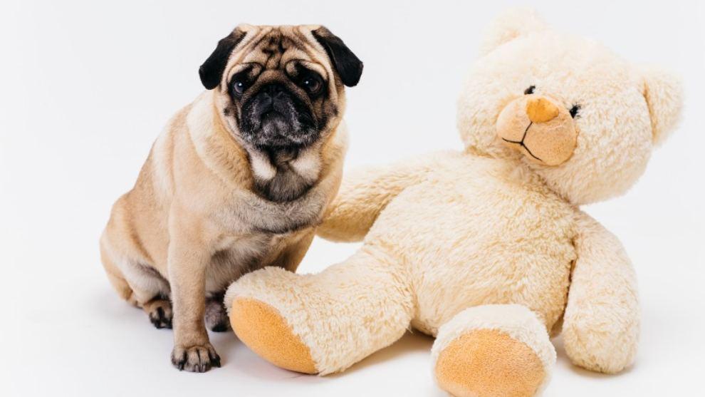 sintomas perra embarazada - Signos que indican que tu perra puede estar embarazada