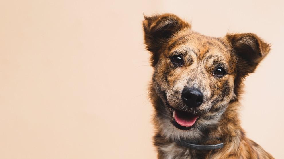 tratamiento rabia perros - ¿Los perros pueden ser veganos?