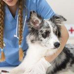 vacunas recomendadas para perros 150x150 - Vacunas para perros obligatorias: Cuáles son y cuándo ponerlas