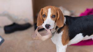 cachorro mordiendo zapato 300x169 - Refugio Animales Paterna