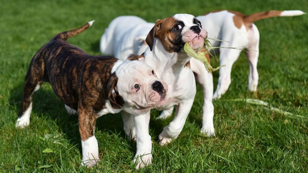 perros comiendo hierba - ¿Por qué los perros comen hierba?