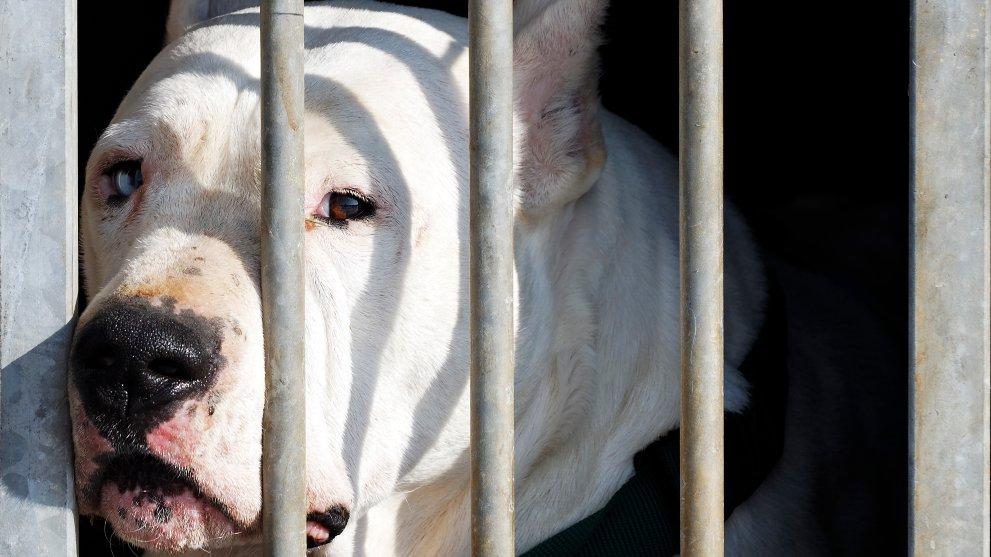 perro potencialmente peligroso abandonado - Las 9 razas de perros que sufren más abandonos