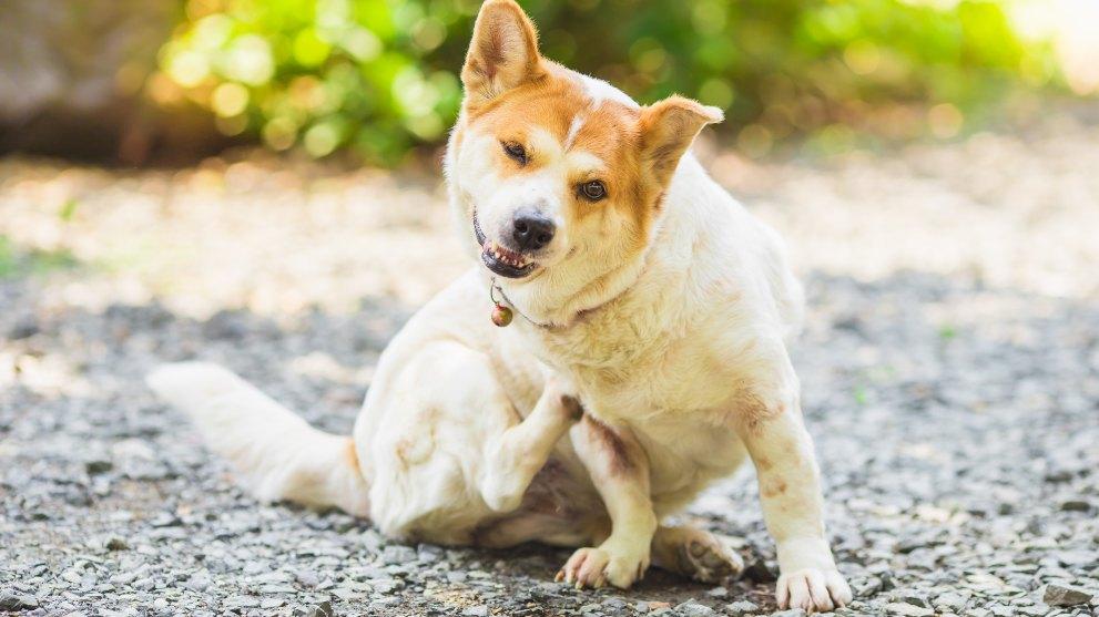 caida pelo perros enfermedad - ¿Por qué se le cae el pelo a tu perro?