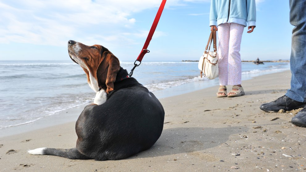 como saber si perro tiene pulgas - Perros potencialmente peligrosos. Guía de Razas de perros