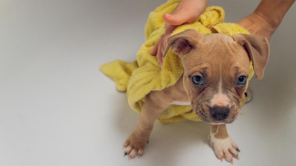 perrito con toalla - Cómo saber si tu perro tiene fiebre