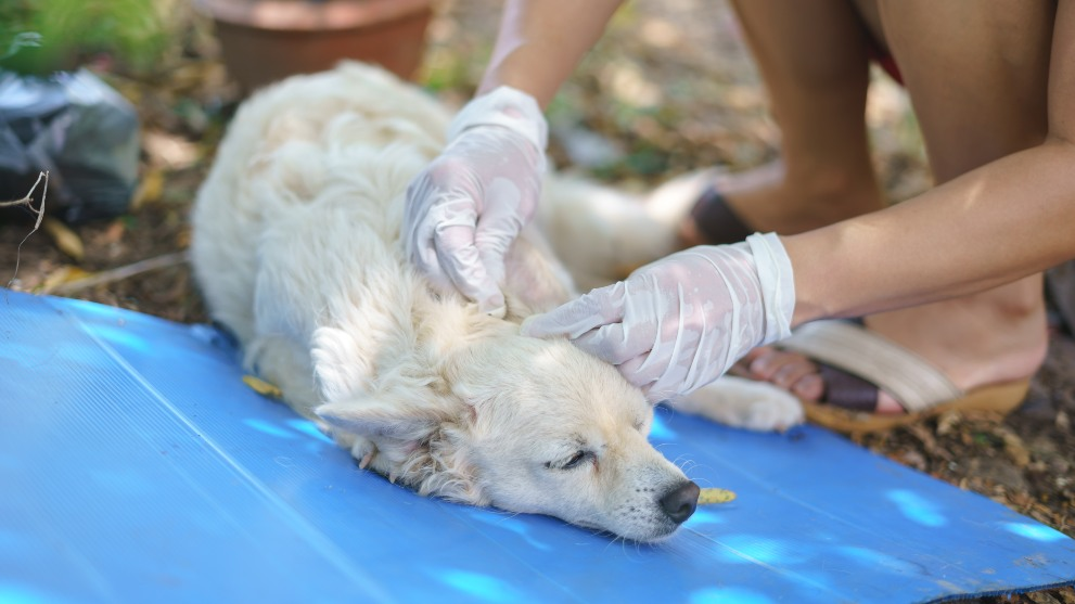 pulgas perros - Acaba con las pulgas de tu perro: Paso a Paso