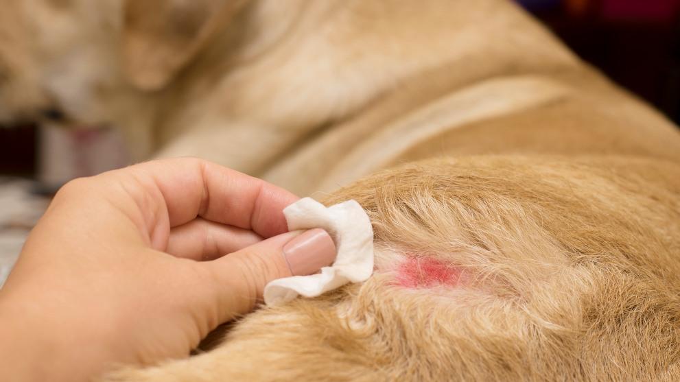 Perro curado con una gasa - Cómo curar una herida a tu perro