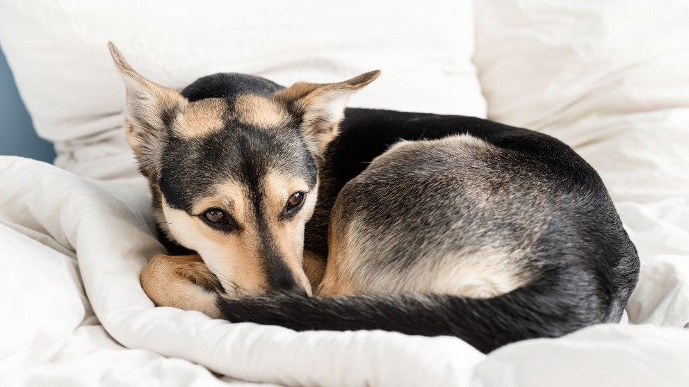cute black mixed breed dog sleeping on white bed 1 - El periodo de adaptación de un perro adoptado