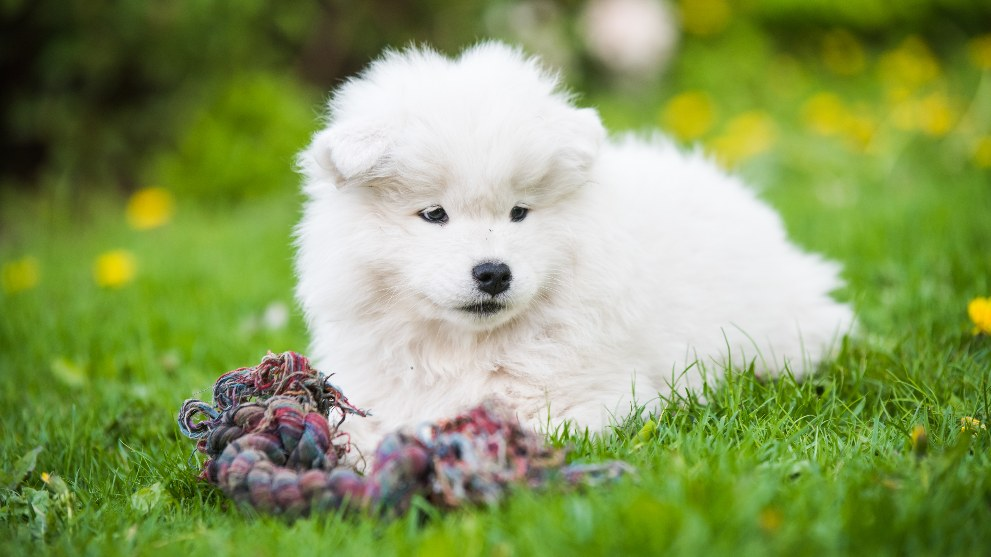 fluffy white samoyed puppy dog is playing with toy 1 - Mal aliento en los perros. Causas y tratamientos.