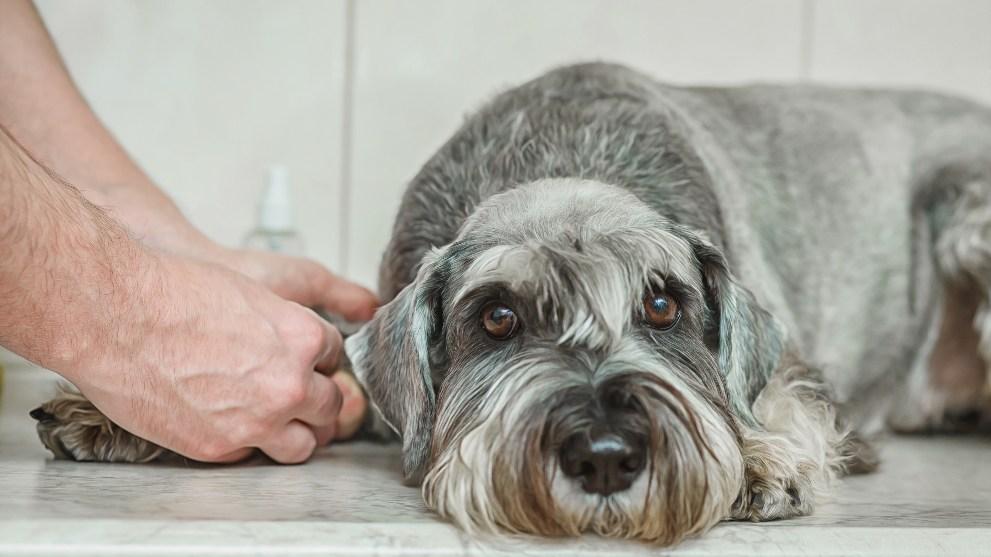 portada perro diabetes - DIABETES EN PERROS: Síntomas y Tratamientos