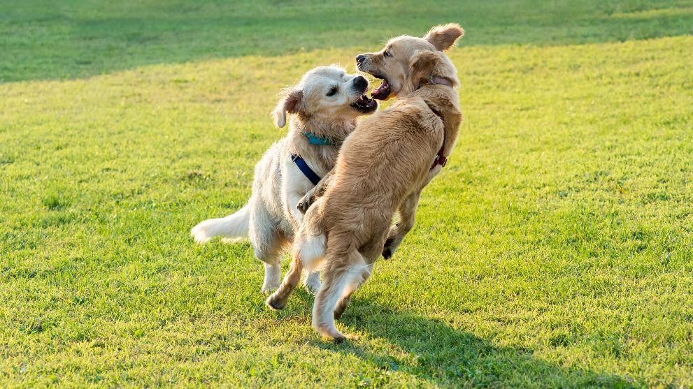 Mi perro es agresivo con otros perros - Cómo controlar que tu perro no sea agresivo